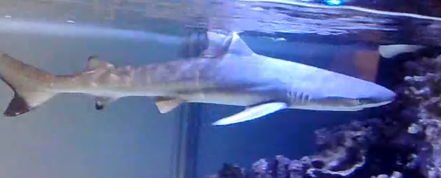 Black tip shark for sale