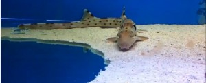 Epaulette Shark for sale