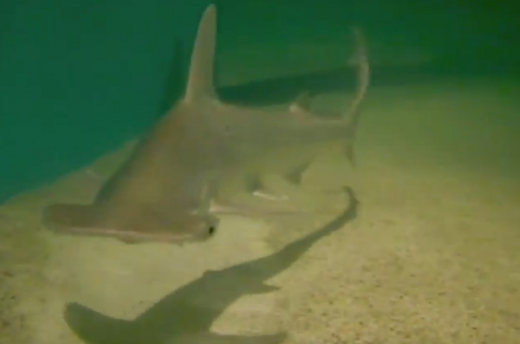 Bonnet head sharks for sale - Bonnethead sharks for sale
